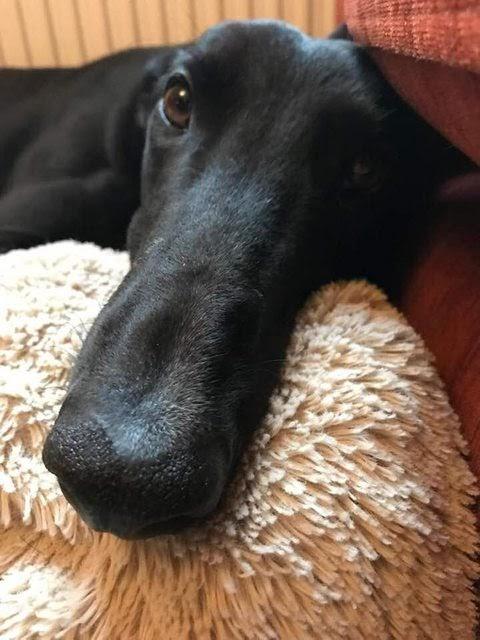 Dobby – 4 year old male Greyhound