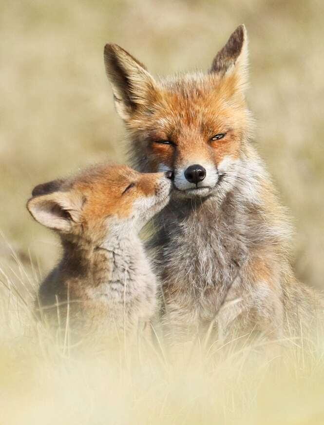 Fotógrafo registra momentos raros e belíssimos da vida de raposas
