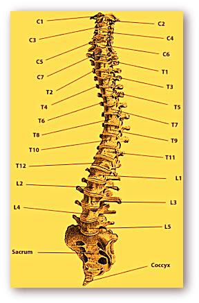 Cervical Spine Diagram