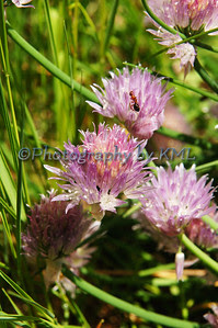 purple chives and an ant