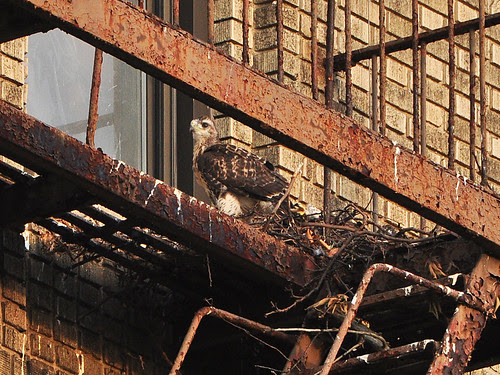 Washington Heights Red-Tail Nestling