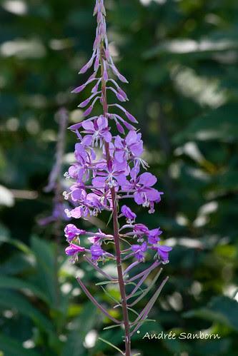 Fireweed (Epilobium angustifolium)-2.jpg