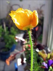Poppy in the morning sun