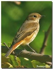 Cotxa cua-roja (femella) 02 - Colirrojo real (...