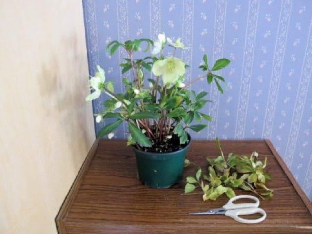 Обрезка усыхающих листьев на комнатном растении. © Kathy Purdy