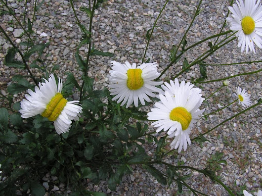 Fukushima mutant daisies: Deformed flowers spotted at Japan's disaster site
