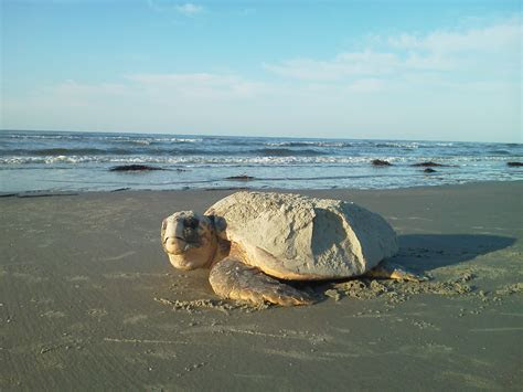 Saving sea turtles on our local beaches