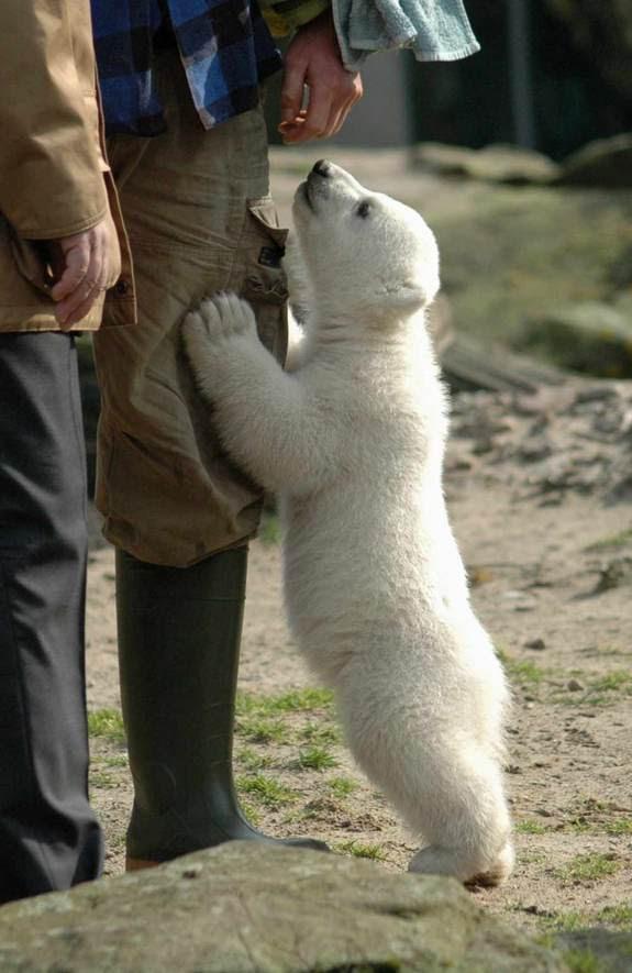 ursinho polar na perna do homem