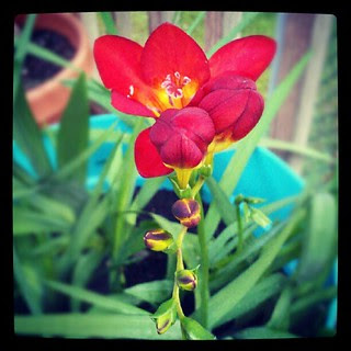 First #freesia bloom #containergarden #flower #summer #deck