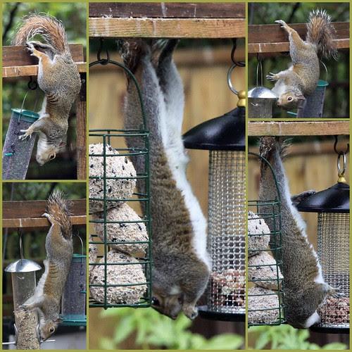 squirrel18