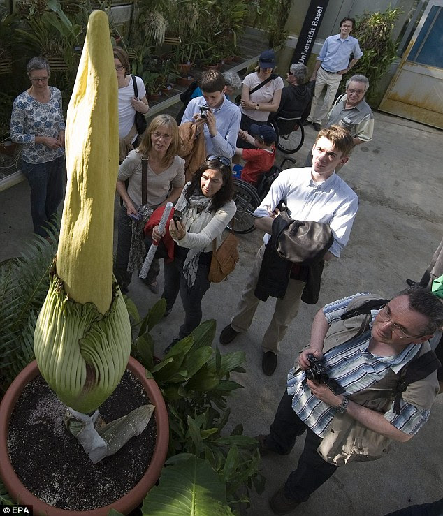Captivating: Crowds gather as the plant prepares to open its leaves