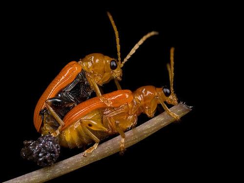mating pair of red beetles IMG_5265 copy