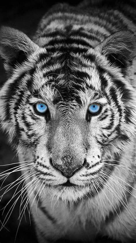 white tiger iphone wallpaper iphone wallpapers