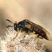 d Ripiphorus sp. female