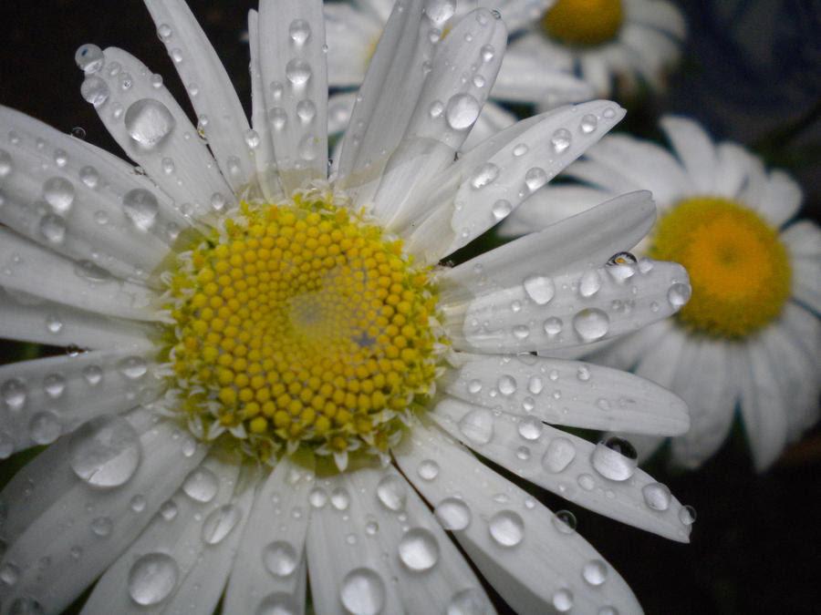 ورود بيضاء , صور زهور بيضاء ,صور ورود بيضاء , صور ورد ابيض