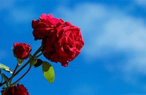 bunga mawar  merawat  berbagai jenis macamnya