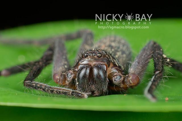 Huntsman Spider (Sparassidae) - DSC_9943