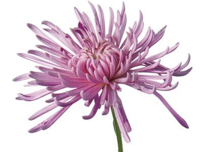 Chrysanthemum (Mums) Flower Meaning & Symbolism   Teleflora