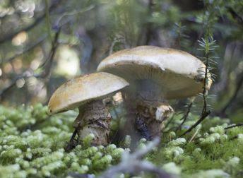 http://static.pratique.fr/images/responsive/high/344-252/mu/mushrooms-forest.jpg