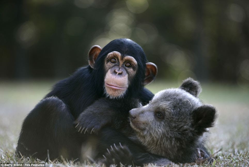 Bam Bam the grizzly bear cub and Vali the chimp have become firm friends