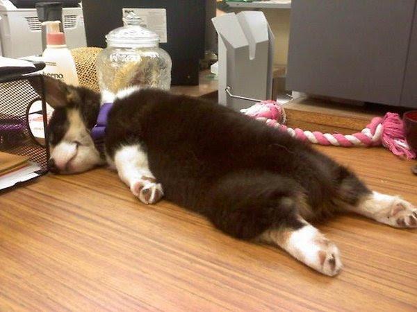 http://cdn.thebarkpost.com/wp-content/uploads/2014/03/cute-sleeping-corgi-puppy.jpg