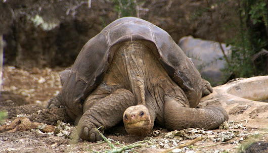 SCIENTISTS HOPE TO RESTORE EXTINCT GALAPAGOS TORTOISE - The Center News