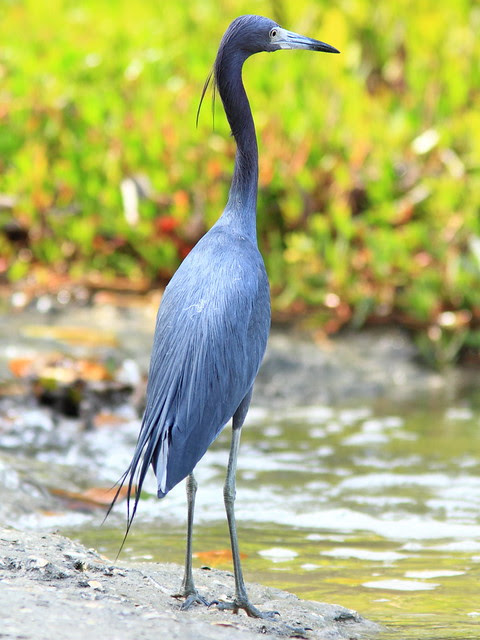Little Blue Heron 20130311