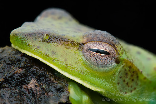 Malayan Flying Frog (Rhacophorus prominanus) IMG_0003 copy