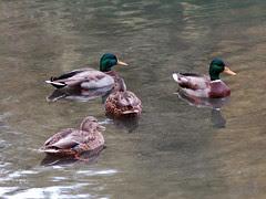 Mallards in Central Park