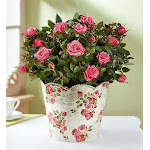 Flower Delivery by 1-800 Flowers Classic Budding Rose Large Plant