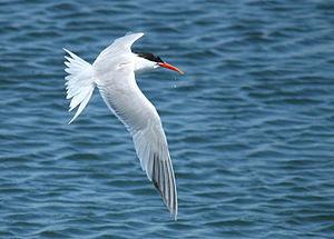 English: An Elegant Tern fishing at the Bolsa ...