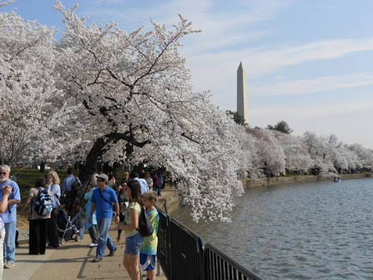 DC Cherry Blossoms Delayed: Here's The New Date | Patch