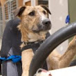 You really CAN teach an old dog new tricks: The stray canines being trained to drive a car (and you'll be able to watch them try online)