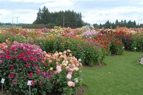 41 best Dahlia Gardens images on Pinterest   Flowers