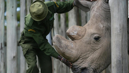 Last male northern white rhino in the world is on death watch - CNN