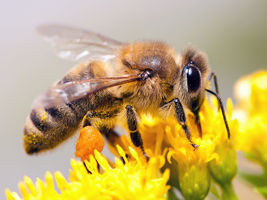 EPA wrongfully approved use of bee-killing pesticides, judge rules