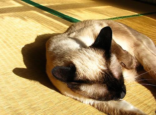 My siamese cat bathing herself in the sunlight