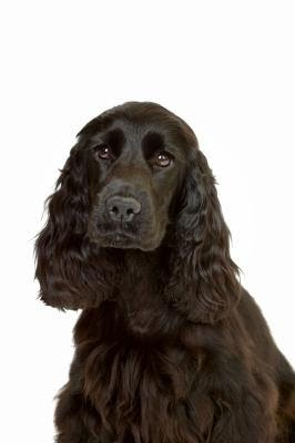 All About Dogs: How to Groom a Cocker Spaniel's Ears