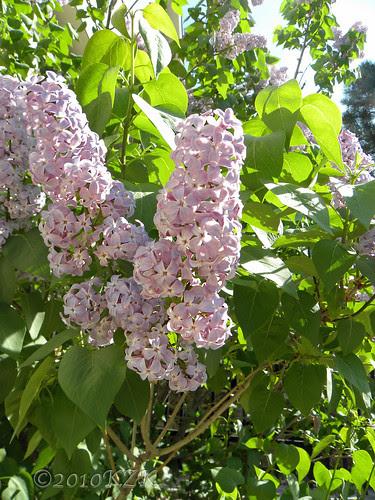 DSCN4770 Lilacs