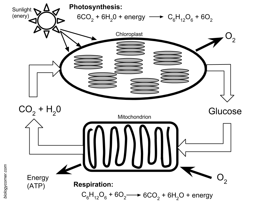 30 Photosynthesis And Cellular Respiration Worksheet