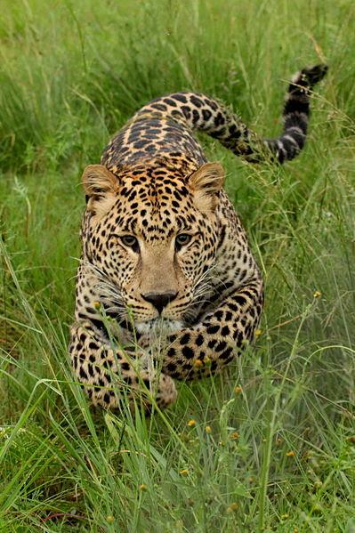 File:Charging Leopard-001.JPG