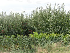 apple trees central greece