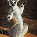 Ring-tailed Lemur, Taronga Western Plains Zoo, Dubbo, New South Wales, Australia IMG_1440_Dubbo