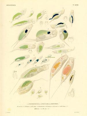 Hydatinaea, Pleurotrocha, Furlicaria, Monocera