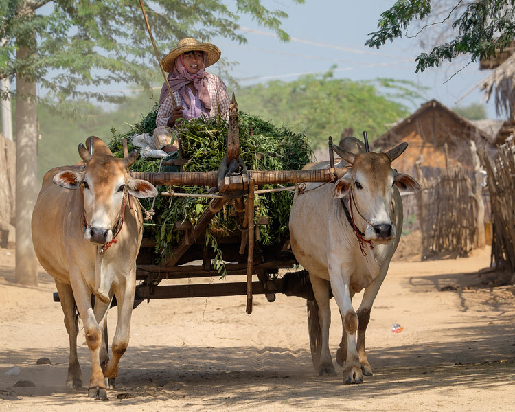 Collecting food for the cows near Bagan