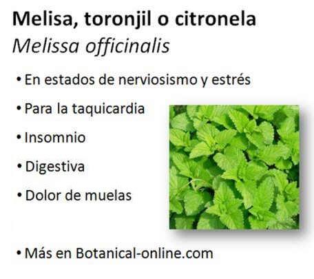 Para qu sirve la melisa la melisa melisa officinalis - Planta de melisa ...