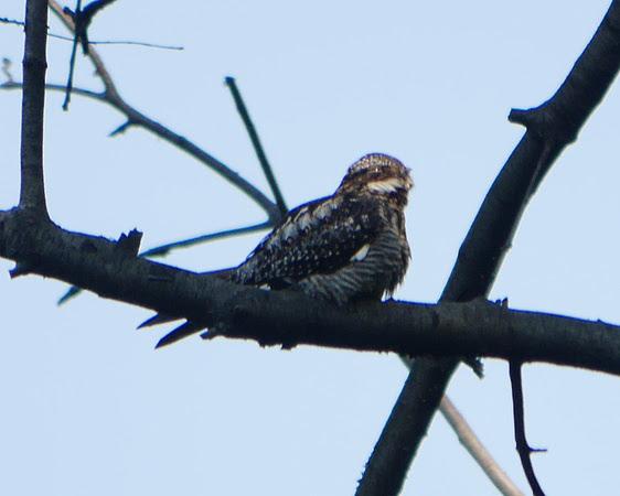 Ed Gaillard: birds &emdash; Common Nighthawk, Central Park