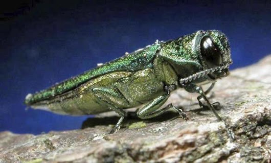 Emerald ash borer, threat to trees, found in Arnold Arboretum - The Boston Globe
