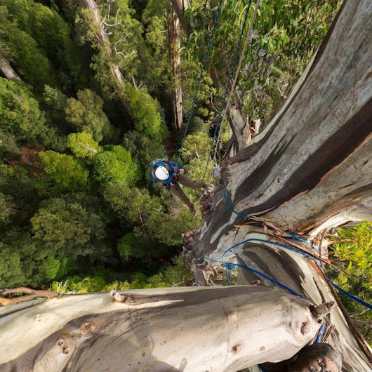 Photographing one of the world's tallest trees