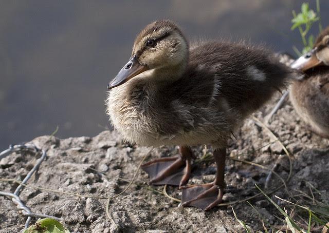 ducklet cutie
